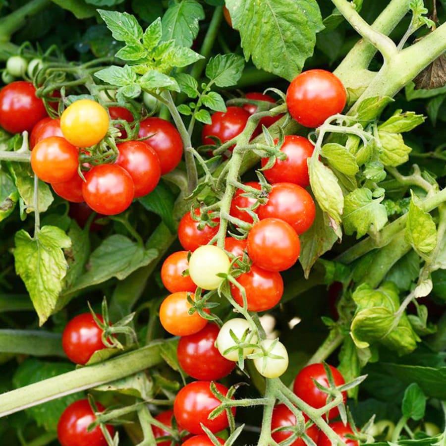 Plant de tomates bonbon