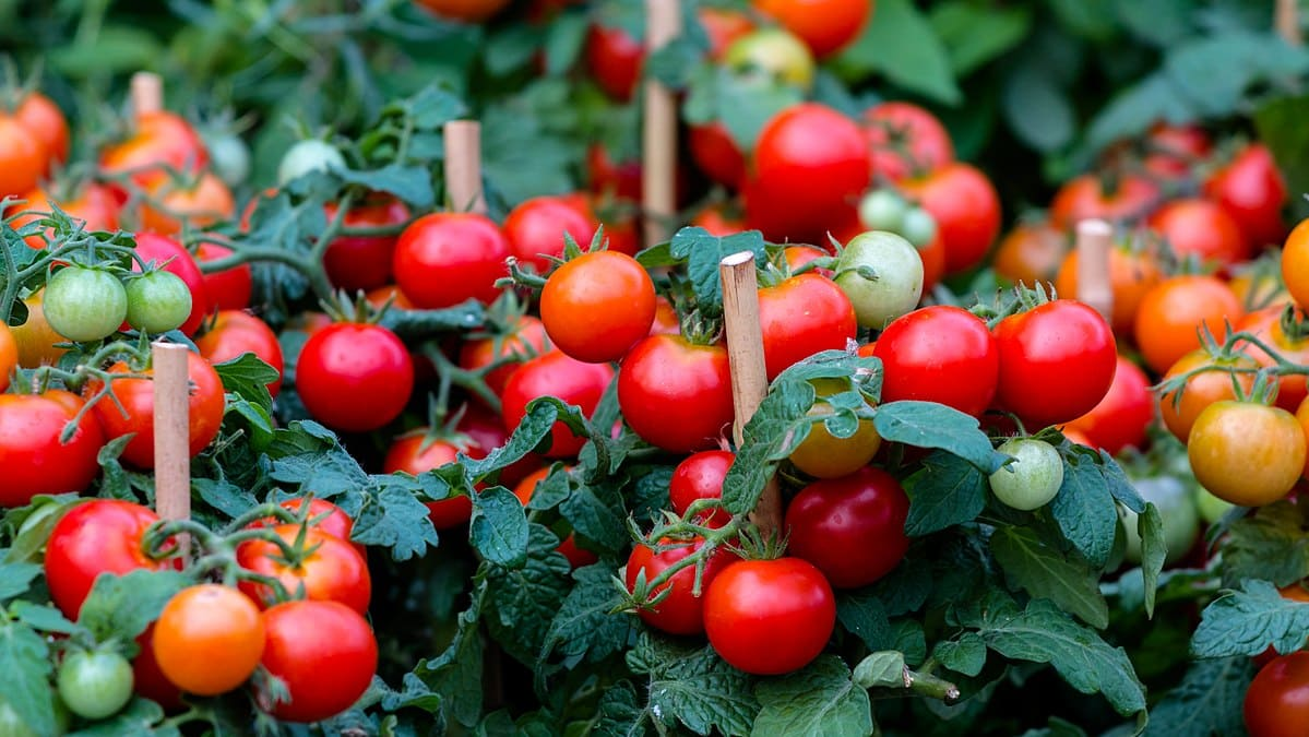 Plant de tomate cerise
